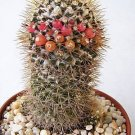 Mammillaria nivosa cacti rare cactus aloe seed 15 SEEDS