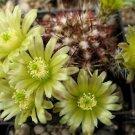 Echinocereus viridiflorus @J@ rare cactus seed 15 SEEDS
