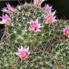 Mammillaria mainiae @J@ cacti rare cactus seed 20 SEEDS