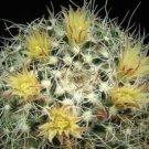 Mammillaria karwinskiana @J@ cacti rare cactus 20 SEEDS
