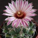 Coryphantha elephantidens @J@ rare cactus seed 15 SEEDS