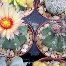 Astrophytum Asterias niveun cacti  rare cactus 10 SEEDS