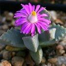 Dracophilus delaetianus rare mesem cactus seed 20 SEEDS