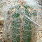 Oreocereus celsianus @@ rare cacti cactus seed 20 SEEDS