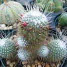 Mammillaria geminispina cacti rare cactus seed 15 SEEDS