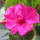 Mirabilis jalapa, rare flowering succulent seed 5 seeds