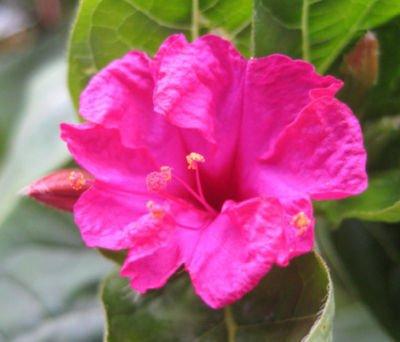 Mirabilis jalapa rare flowering succulent seed 10 seeds