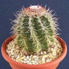 Melocactus Azureus, cacti rare cactus seed 50 SEEDS LOT