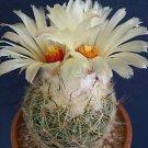 Coryphantha reduncispina rare cactus seed aloe 15 SEEDS