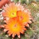 Parodia horstii notocactus @@ rare cactus seed 25 SEEDS