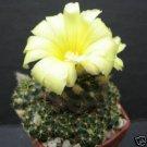 Frailea grahliana, cacti rare cactus aloe seed 15 SEEDS