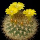 Weingartia neocumingii, rare cactus seed cacti 15 SEEDS