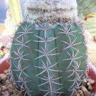Melocactus Levitestatus cacti rare cactus aloe 20 SEEDS