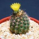 Neoporteria islayensis, rare cactus cacti seed 10 SEEDS