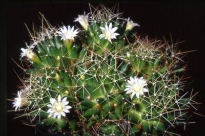 Mammillaria decipiens @ cacti rare cactus seed 20 SEEDS