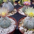 Astrophytum asterias super kabuto 5ribs sand dollar rare cactus seed 100 SEEDS