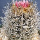 Neoporteria taltanensis rare cactus cacti seed 10 SEEDS