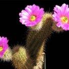 Echinocereus spinigemmatus @@ rare cactus seed 15 SEEDS
