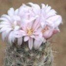 Escobaria tuberculosa,@ cacti rare cactus seed 20 SEEDS