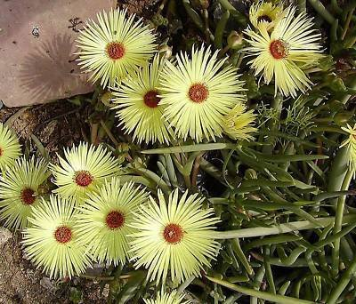 Cephalophyllum pillansii @ mesembs cactus seed 20 SEEDS