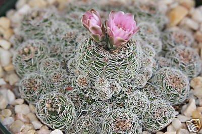 Gymnocalycium bruchi @@ rare cactus seed cacti 20 SEEDS