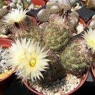 Coryphantha durangensis rare cactus seed cacti 15 SEEDS