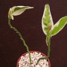 Pedilanthus Tithymaloides VARIEGATED rare cacti plant 4