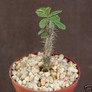 """EUPHORBIA BEHARENSIS @j@ rare cactus plant succulent 4"""""""