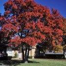 Quercus shumardii  Shumard Red Oak Tree Acorns exotic bonsai wood seed 10 seeds