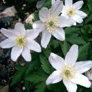 Anemone nemorosa, white blossoms in March