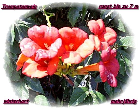trumpet vine *campsis radicans* hardy and perennial, 30 seeds