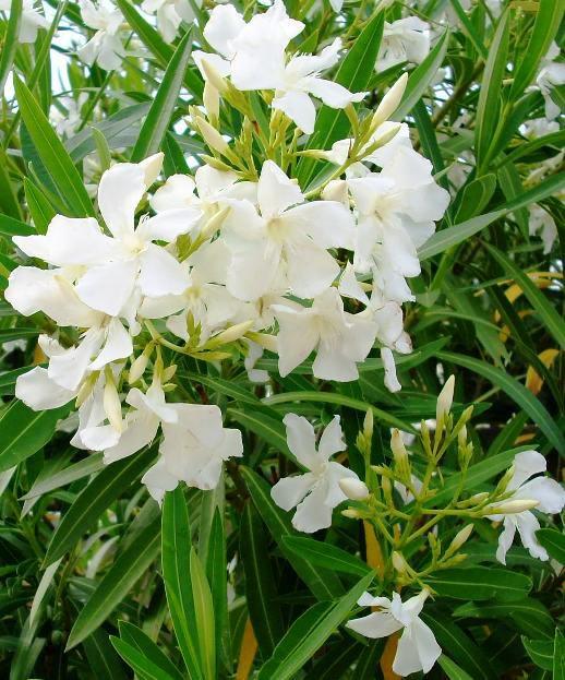 Oleander, snowwhite, and long flowering perennial, 30 seeds
