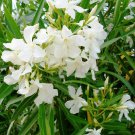 Oleander, snowwhite, and long flowering perennial, 30 seeds