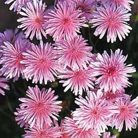 "Crepis rubra, ""red hawksbeard"" long flowering until the autumn, 30 seeds"