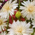 "Crepis rubra, ""white hawksbeard"" long flowering until the autumn, 30 seeds"