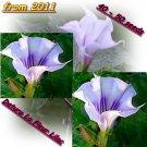 "Angels Trumpet ""Datura La Fleur Lilac"", 40 - 50 seeds"