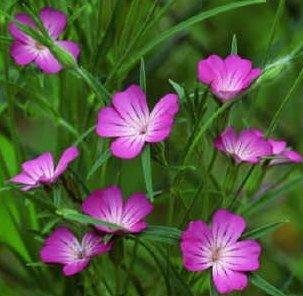 "Corncockle ""Agrostemma githago"" color purple - blue 30 seeds"