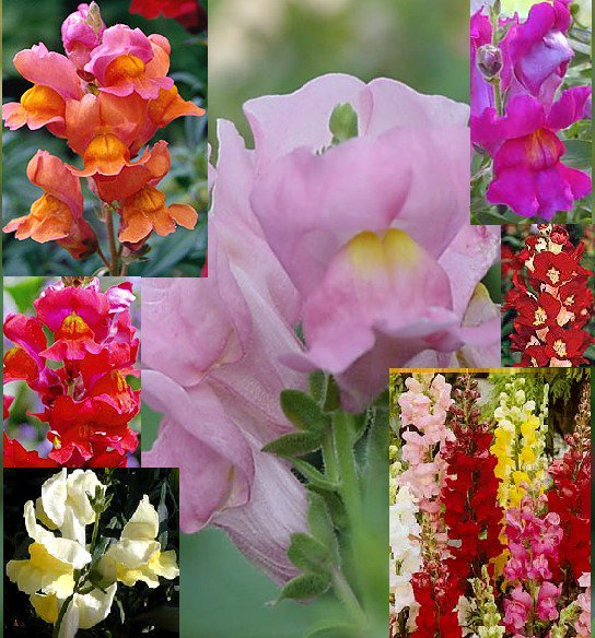 "Snapdragon ""Antirrhinum"" spectacular variety of colors, 200 seeds"