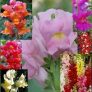 "Snapdragon ""Antirrhinum"" spectacular variety of colors, 200 seeds"
