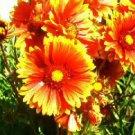 "Gaillardia - blanketflower ""magic fire"" 75 seeds"