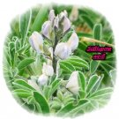 Sweet Lupin white, a lot of protein, about 50 seeds