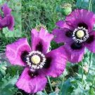 Spanish poppy purple color, great flowers, about 150 seeds