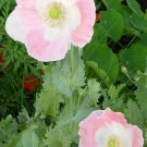 Spanish poppy white color with pink edge, great flowers, about 150 seeds