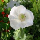 Spanish poppy white color, great flowers, about 150 seeds