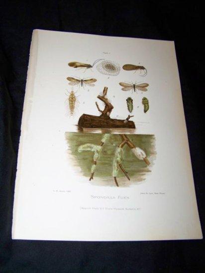 Antique Entomology SPONGILLA FLIES Chromo-Litho Plate