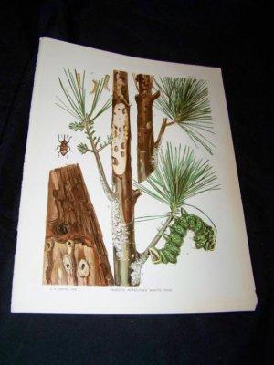 Entomology White Pine CATERPILLAR Chromo-Litho Plate
