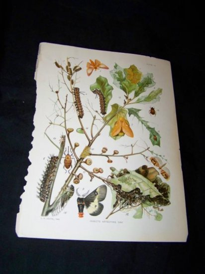 Antique Entomology Oak Eating INSECT Chromo-Litho Plate