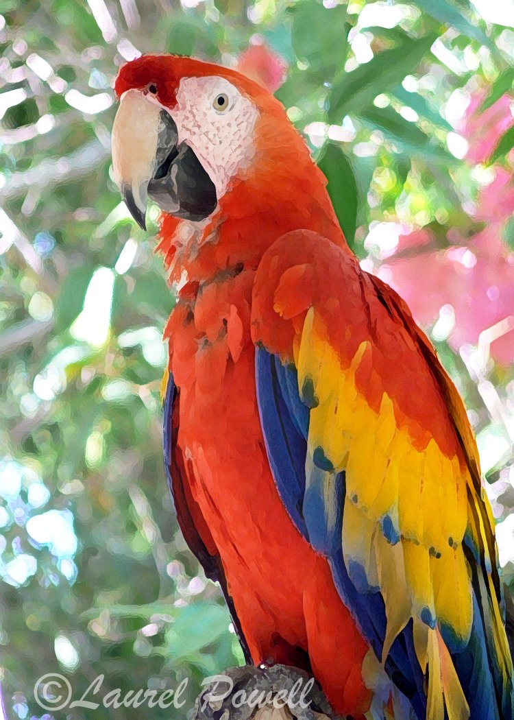 Macaw ACEO