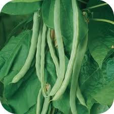 "Old Homestead ""Kentucky Wonder pole bean 25 heirloom seeds"