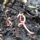 Composting worm starter colony. The best start for your organic worm bin!